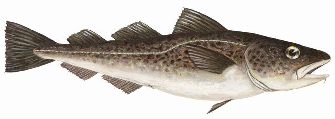pacific cod order page
